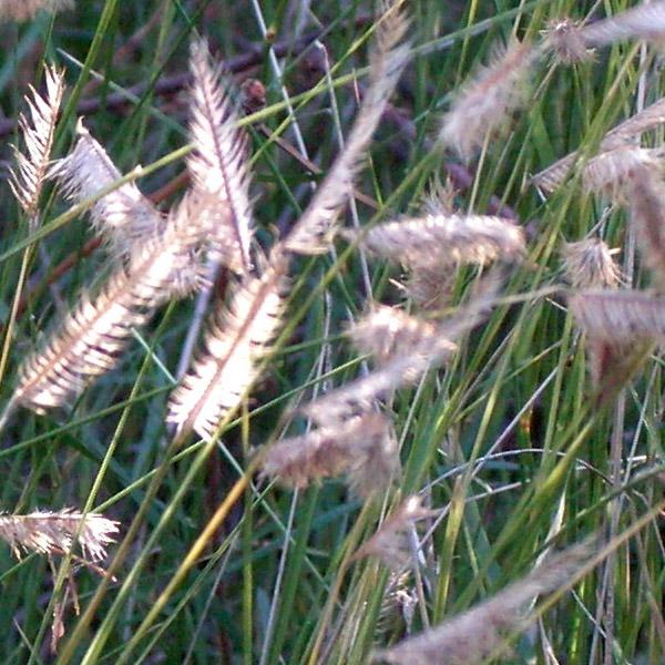 Bouteloua gracilis - blue gamma grass. Credit Betty Young.