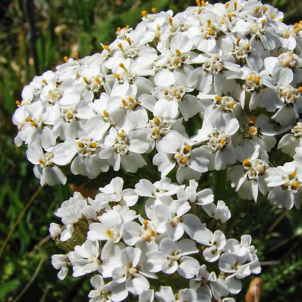 Achillea millefolium. Credit Betty Young.