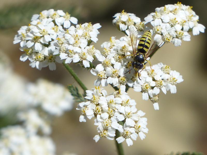 Achillea millefolium - yarrow with crabronid wasp