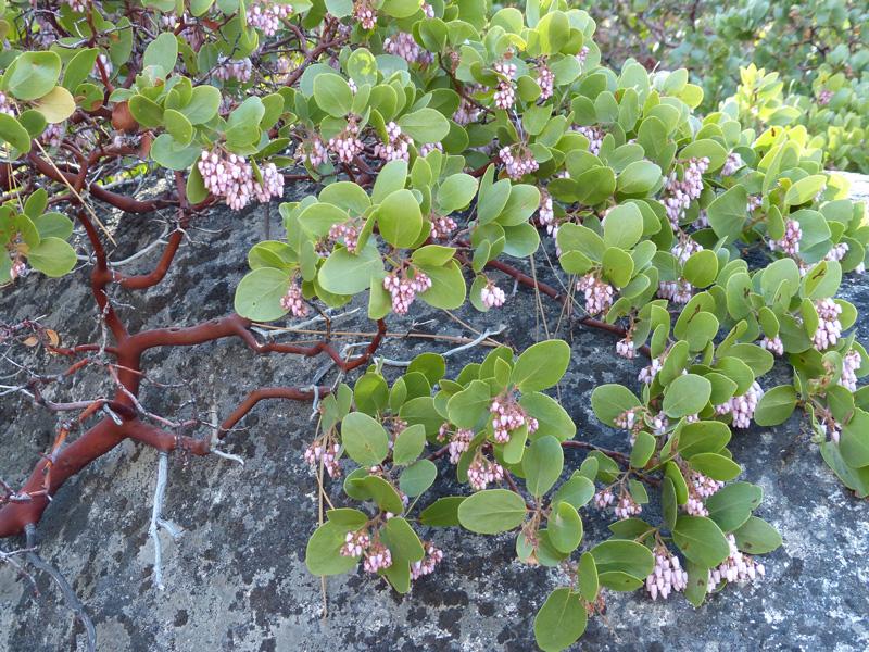 Arctostaphylos patula - green leaf manzanita