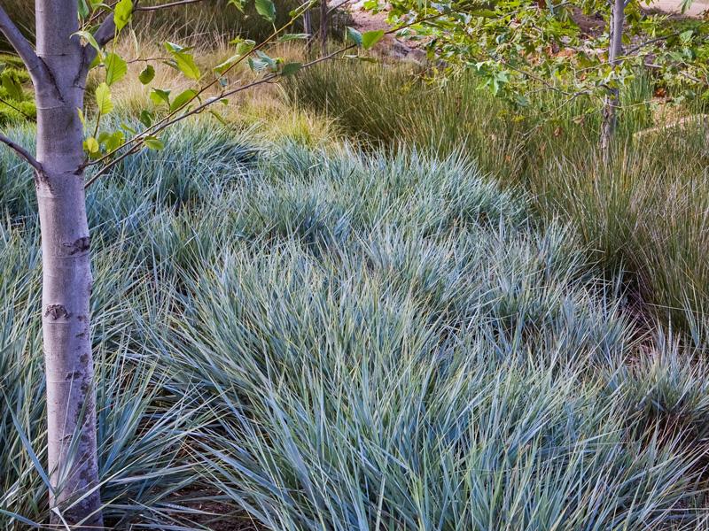 Elymus condensatus - Blue wildrye