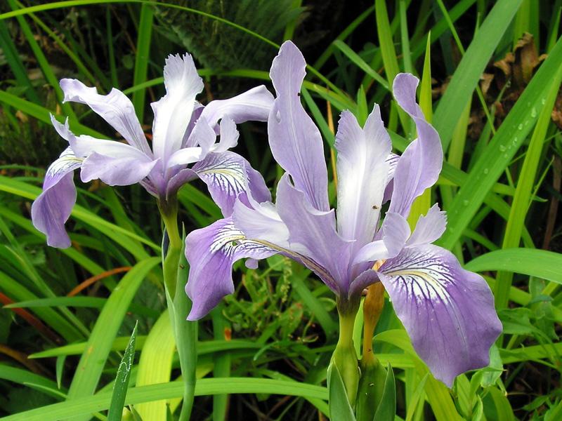 Iris douglasiana - Douglas iris