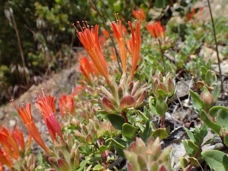Monardella macrantha - red mint