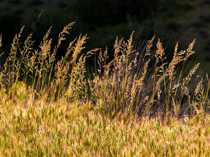 Poa secunda - One sided blue grass