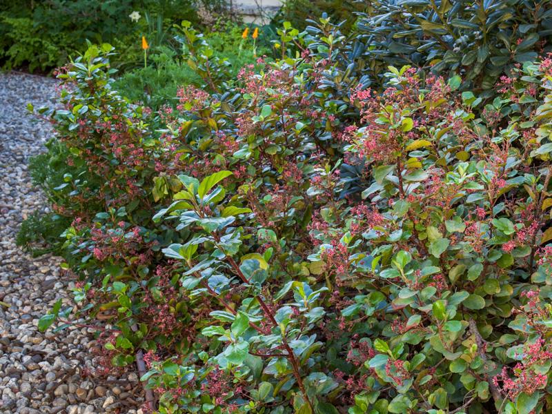 Ribes viburnifolium - Catalina currant