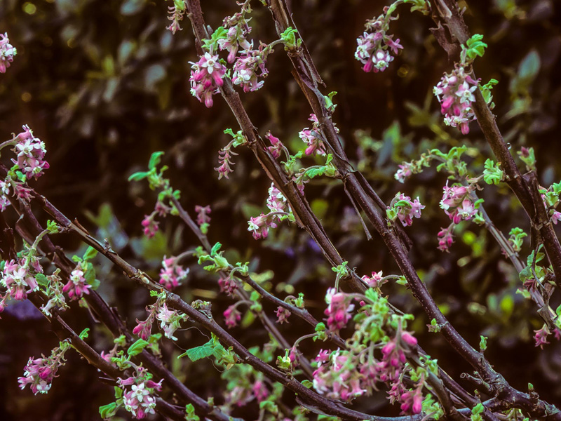 Ribes mancaceum - Chapparal currant